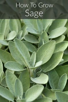 Learn how to successfully grow sage at home. An aromatic herb ideal for season meats, and poultry, sage has been a kitchen staple for centuries and is easy to grow! Sage Herb, Sage Plant, Aromatic Herbs, Medicinal Herbs, Healing Herbs, Gardening For Beginners, Gardening Tips, Indoor Gardening, Organic Gardening