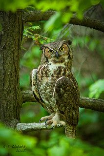 Great Horned Owl | by Steve Gilchrist