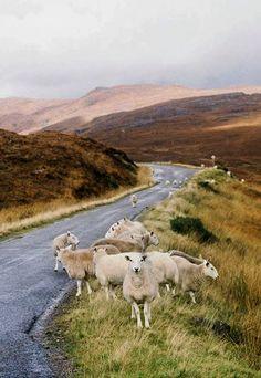 Sheep ~ Loch Torridon, Scottish Highlands by Vanessa Jackman.
