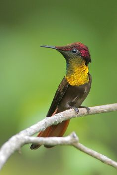 Ruby topaz hummingbird.