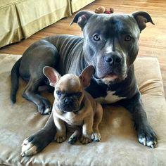 Ronin & Loki, Pitt Bull and French Bulldog Puppy, ❤ @roninandloki
