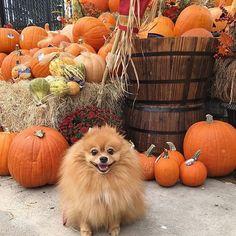 Pumpkins @pompommeimei                                                                                                                                                                                 More