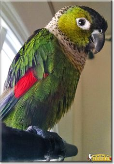 Read Harley's story the Black Capped Conure from Connecticut and see his photos at Pet of the Day http://PetoftheDay.com/archive/2015/April/10.html
