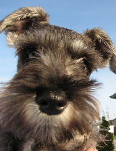 What a absolutely adorable mini schnauzer face, just so so cute