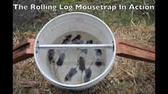 11 Mice in One Night with the Rolling Log Mouse Trap. New Mouse& Trap Videos Every Monday. Full Playlist of all my Mouse Trap Monday Videos: https:& Best Mouse Trap, Mouse Traps, Killing Mice, Bucket Mouse Trap, Getting Rid Of Mice, Rat Traps, Household Pests, Diy Home Repair, Rodents