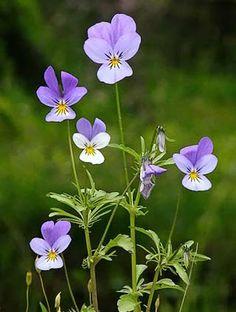 Keto-orvokki. Pikkuinen ja suloinen karujen paikkojen kasvi sopii katoille ja kivikkoisiin puutarhan osiin. Pretty flower for the roof seed mix - I have to say I'm really really loving this wild flowers english name: Hearts ease. Oh my. Keto-orvokki, Viola tricolor - Kukkakasvit - LuontoPortti