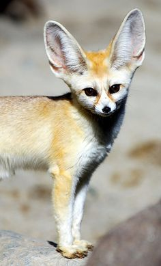 Fennec Fox - So Pretty !