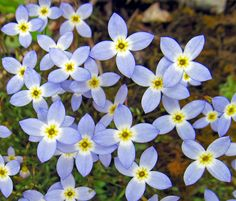AZURE BLUET: (Houstonia caerulea). Photograph taken at Hopewell Community Park in Beaver County, PA, May 5, 2014.