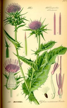 Healing herbs or more commonly known as medicinal herbs are said to be effective when it comes to healing certain allergies as well as renewing and increasing vitality in the body. Medicinal herbs have been in use for centuries and are recognized as. Vintage Botanical Prints, Botanical Drawings, Botanical Art, Botanical Illustration, Healing Herbs, Medicinal Plants, Milk Thistle Benefits, Thistle Seed, Thistle Plant