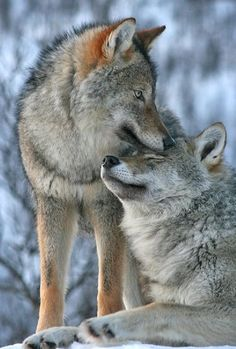 Wolves care and take care of each other in their pack which is like a huge family that takes care of each other.