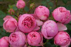 Why Rose Gardening Is So Addictive - Urban Gardening Amazing Flowers, Beautiful Roses, Beautiful Gardens, Beautiful Flowers, Flower Drawing Images, Rose Foto, Rose Garden Design, Hosta Plants, Rosa Rose