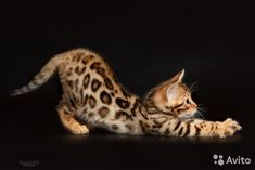 Бенгальские котята — фотография №1