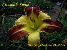 Crocodile Smile  (Trimmer '96)-Daylily;Daylilies;Day Lily;Crocodile Smile Daylily;Trimmer 1996 Daylily;Extra Large Blooming Daylily;Bicolor Daylily;Mulberry w' Ivory Bicolor Daylily;Tetraploid Daylily