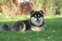 Terhakan Lusmu - Karri  Finnish Lapphund