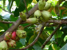 https://faaxaal.blogspot.com/2018/03/syzygium-malaccense-jambosier-rouge-jambose.html - Syzygium malaccense - Jambosier rouge - Jambose - Flore de la Réunion - Arbres et arbustes de la Réunion - Flore exotiques de la Réunion - Arbres et arbustes d'Indonésie - Flore de Malaisie - Flore asiatique - Photos de Myrtacée - Photo de Syzygium - Photo de Jambose