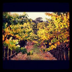 Eberle Winery Estate Vineyard in the Fall
