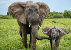 Hippo elephant with baby buffalo Baby Buffalo, Face Swaps, Elephant, Animals, Animales, Animaux, Animais, Elephants, Animal