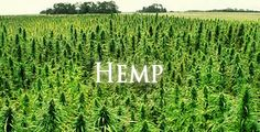 Farmers in New York plant first hemp crop in 80 years -    What do Mark Justh, a retired JP Morgan banker, and Daniel Dolgin, a former Washington D.C. national security and counterterrorism expert have in common? Plenty, and it's all good. Justh and Dolgin are co-owners of JD Farms, a diversified 1,300 acre organic patch of topsoil nestled in Eaton,...