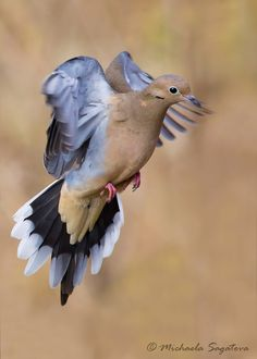 Mourning Dove In Flight Photography Double by MichaelaSagatovaArt, $225.00