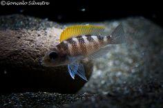 Neolamprologus Caudopunctatus | Flickr - Photo Sharing!