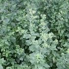 Oregano, een kruid met geneeskracht Growing Herbs, Growing Vegetables, Fruits And Veggies, Edible Plants, Edible Garden, Herbs For Health, Spices And Herbs, Wild Edibles, Healing Herbs