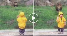 Leão Tenta Atacar Criança De 2 Anos Quando Ela Lhe Vira As Costas http://www.desconcertante.com/leao-tenta-atacar-crianca-de-2-anos-quando-ela-lhe-vira-costas/