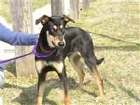 Rocky B. is an adoptable Doberman Pinscher Dog in Fairfax Station, VA. Six year old mixed Shepherd/Greyhound/Dobie needs new home as his current owner has health issues which prevent her from being ab...