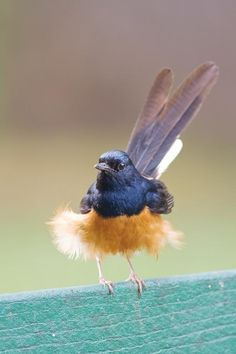 The White-rumped Shama (Copsychus malabaricus) is a small passerine bird of the family Muscicapidae. They are native to South and Southeast Asia, but have been introduced to Kaua'i, Hawai'i, in early 1931 from Malaysia