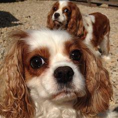 Cavies. #dogs #dog #cavalier #kingcharles #spaniel #spaniels #blenheim #cav…