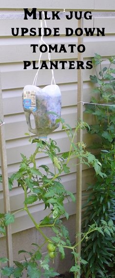 Supplies Needed: Potting Soil, Wire Coat Hanger and 1 Plastic Gallon Milk Jug Tools Needed: Wire Sn Growing Tomato Plants, Growing Tomatoes, Growing Vegetables, Baby Tomatoes, Planting Vegetables, Fall Planters, Diy Planters, Planter Ideas, Planter Boxes