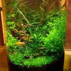 【sono_aqua_pfm】さんのInstagramをピンしています。 《新作『30cm cylinder-BAQ』水草植栽から約2カ月経過小型グラミーやアカヒレ、オトシンクルスは丈夫で穏やか、ボトルアクアリウムにオススメの魚です写真には写ってませんが、ピグミーグラミーが、ビカビカにイイ色出てます✨ボトルの中に小さな自然を作り出す面白さ⭐ #SONOアクアプランツファーム #BottleAquarium #ボトルアクアリウム #水草 #aquaplants #aquarium #aquaticplants #水草レイアウト#熱帯魚 #plants #テラリウム #アクアリウム #グリーン #インテリア #睡蓮 #ガーデニング #水族館 #メダカ鉢 #メダカ#ベタ #エアープランツ #テラリウム #グリーンのある暮らし #ミスト式 #未来屋書店沖縄イオンモールライカム店(展示中)》