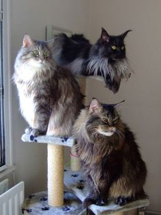 Beautiful Maine Coon Cats http://www.mainecoonguide.com/health/