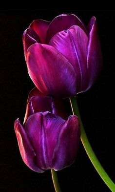 Purple Tulips - so elegant. Purple Tulips, Tulips Flowers, Exotic Flowers, Amazing Flowers, Spring Flowers, Beautiful Flowers, Tulip Painting, Arte Floral, Flower Wallpaper