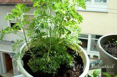 Wild Urban Gardening ·Teil 3 | Mizzis Küchenblock · Wermut nach vier Wochen