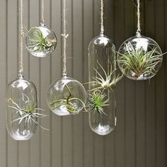 Hanging mini terrariums filled with Tillandsia air plants