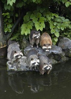 FARMHOUSE – ANIMALS – the racoons are on the prowl.