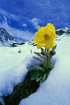 """"""" Source :art of nature """" Yellow Flowers, Wild Flowers, Beautiful Flowers, Flowers Nature, Alpine Plants, Image Nature, Winter Beauty, Winter Scenes, Nature Pictures"""