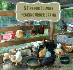 Pecking order brings drama to the flock and adding new chicks upsets the balance Here are 5 tips for dealing with pecking order drama