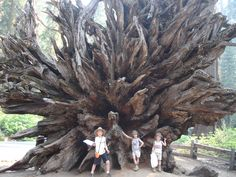 the-root-system-of-a-sequoia-tree-that-fell-down-over-300-yrs-ago