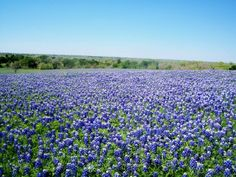Some bluebonnet fields stretch on as far as one can see. Ennis, TX. (Richard S. Buse photo)