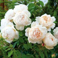 the generous gardener david austin roses strong. Black Bedroom Furniture Sets. Home Design Ideas