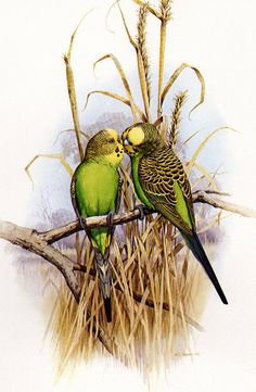 Budgerigar Print from Australian Parrots Book by VintagePaperWorks Australian Parrots, All Birds, Vintage Maps, Bird Pictures, Budgies, Wildlife Art, Bird Prints, Beautiful Butterflies, Bird Art