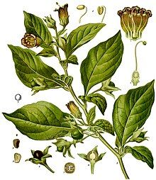 If you are studying herbal magic or any form of Witchcraft that involves herbs, let me introduce you to belladonna! Here are details, how to grow it, its many medicinal, magical and folk uses!