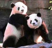 Pandas(: