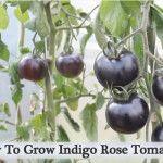 How To Grow Indigo Rose Tomatoes