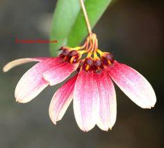 Miniature Orchid Bulbophyllum lepidum