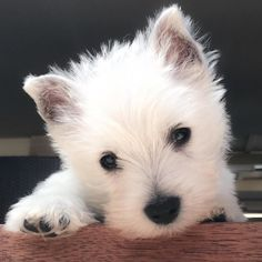 Hope everyone had a great weekend from #lacyandpaws and @emma_the_westie by lacyandpaws