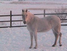 AM Hells Belles, 1/2 curly, 1/2 Arabian mare