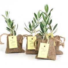 Olive Tree Plant Favor - Burlap Pouch. Perfect for a rustic wedding to a garden party. Great as a thank you gifts or table décor. #weddingtablegiftsforguests