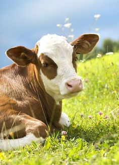 Cows like to sleep close to their families, and their sleeping arrangements reflect their respective rankings in the social hierarchy